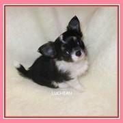 Собака чихуахуа девочка трёхцветная фото