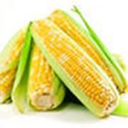 Фуражное зерно кукурузы сорт Фалькон фото