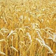 Пшеница 3, 4 класса фото