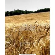 Пшеница гибридная (1-5класс) фото
