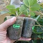 Рассада клубники, саженцы клубники, земляника садовая : Гигант Джорнея фото