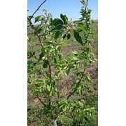 Продается Сад яблони 3-его года – 23 га ( сорт Айдаред, сорт Флорены) фото