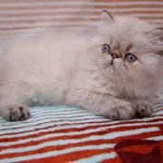 Персидский голубоглазый котенок (торти-линкс-пойнт) фото