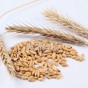 Крупа пшеничная озимая, крупа пшеничная озимая со склада, крупа пшеничная озимая оптом, крупа пшеничная озимая от производителя фото