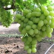 Саженцы винограда сорта Аркадия фото
