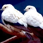 Голуби экзотические фото