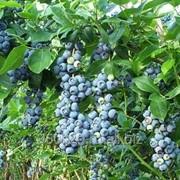 Голубика садовая Нельсон С5 фото