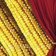 Насіння кукурудзи Сингента FURIO ua, пак