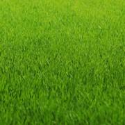 Рулонный газон в Одессе фото