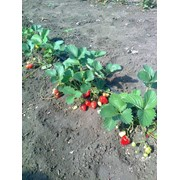 Выращивание клубники. Саженцы клубники. Рассада, саженцы, озеленение. Сельское хозяйство. фото