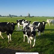 Разведение коров фотография