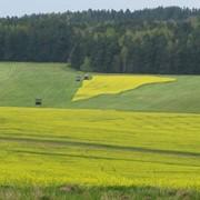Рапс, семена, гибрид. Энигма, Астон 899 (высокоурожайные озимые сорта) фото