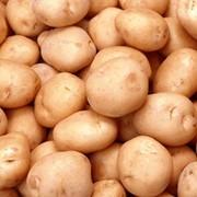 Картофель сортовой корнеплодовые и другие культуры продам фото