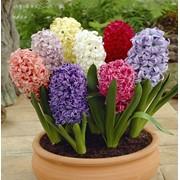 Гиацинты (обычные, махровые, многоцветковые) фото