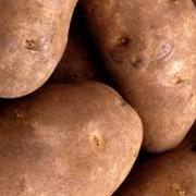 Картофель Импала фото