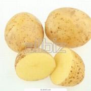 Картофель Уладар фото