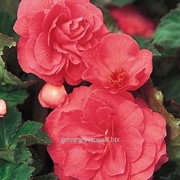 Бегония махровая Pink 6/+ фото