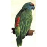 Попугаи Амазоны фестива фото