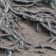 Корчевка, измельчение пней корневой системы дерева фото