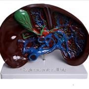 Модель объемная Печень фото