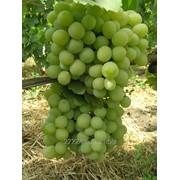 Виноград раннесреднего срока созревания Талисман фото