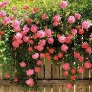 Устройство розария и сирингария фото