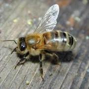 Итальянская пчела фото