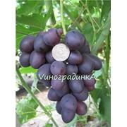 Саженцы винограда (сорт Дунав) фото