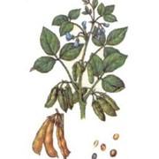 Растение семейства бобовых, родиной которого является восточная Азия. Подрод Soja состоит из двух видов: дикорастущей уссурийской сои и культурной сои. Сюда же относится спорный полукультурный вид — соя изящная или тонкая фото
