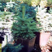 Деревья хвойные декоративные фото