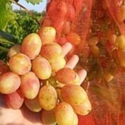 Черенки винограда ранних сортов, саженцы винограда, черенки винограда : Анжелика(Ксения) фото