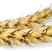 Пшеница в Казахстане фото