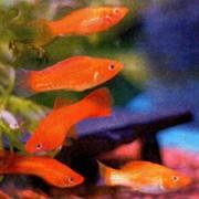 Аквариумные рыбки меченосцы фото