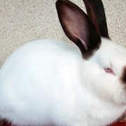 Кролики племенные калифорнийские фото