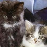 Вакцина антирабическая инактивированная сухая культуральная из штамма «Щелково-51» для собак и кошек (Рабикан) ТУ 9384-024-00482915-01 фото