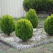 Туя восточная Ауреа Нана (Platycladus orientalis 'Aurea Nana') фото