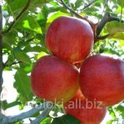 Продам яблоки сорта Джонаголд из Молдавии фото