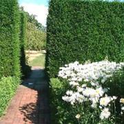 Живые изгороди (Вертикальное озеленение) фото