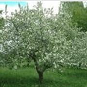 Омолаживающая обрезка деревьев фото