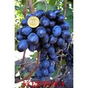 Саженцы и черенки винограда. фото