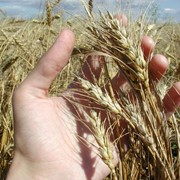 Производство зерновых и технических культур фото