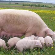 Пробиотики для свиней фото