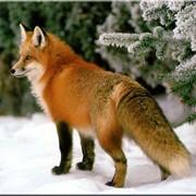 Шкурка лисы огнёвка Вятская фото
