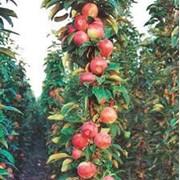 Колонновидная яблоня Луч ЗКС фото