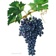 Виноград свежий тойфи (розовый) фото