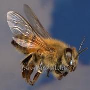 Пчелопакеты с пчёлами карпатской породы фото