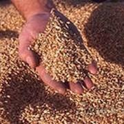 Семена яровой пшеницы фото