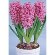 Луковицы гиацинта - сорт Pink Pearl 18/19 фото