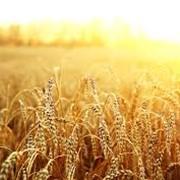 Семена пшеницы шестопалока фото