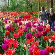 Тур в Нидерланды в парк Кёкенхоф фото